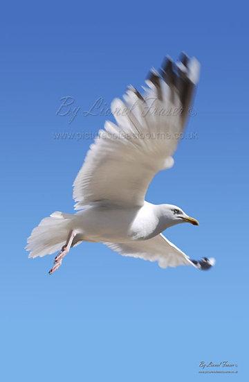 107B5 Seagull flying