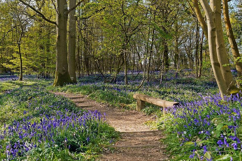 215A4 Bluebell Walk in Full Bloom