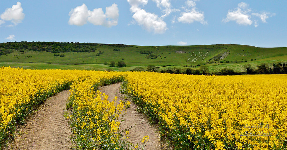 129B1 Rapeseed Field at The Longman of Wilmington