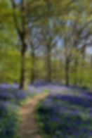 Arlington bluebell walk