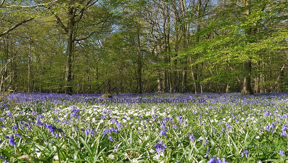 215G1 Bluebells Far And Wide