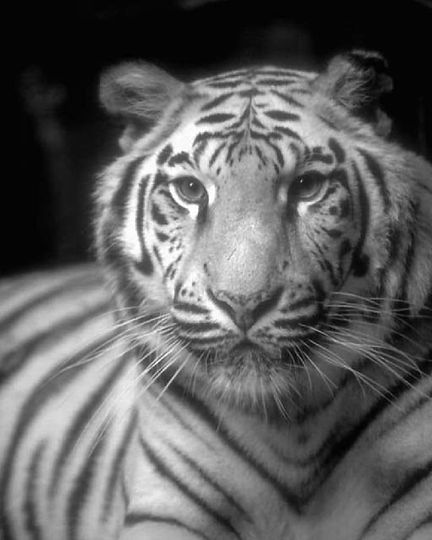 tiger2 jpg.jpg