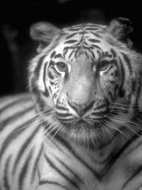 8x10 Framed Lasered Tiger Mirror