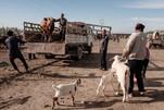 Kashgar. Xinjiang Uyghur. Sunday livestock market