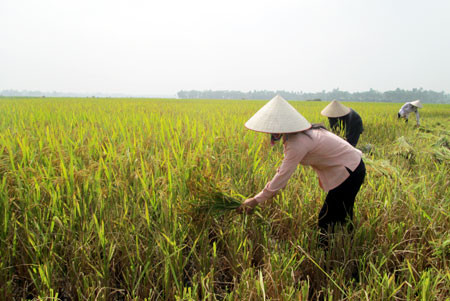 Do You Know How Vietnamese People Cultivate Wet Rice?