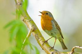 Robin singing (Erithacus rubecula, Europ