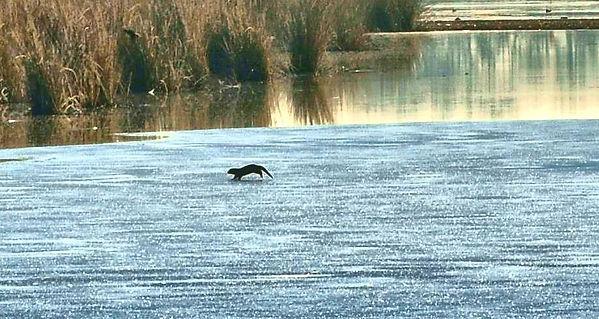 Otter on ice 2.jpg