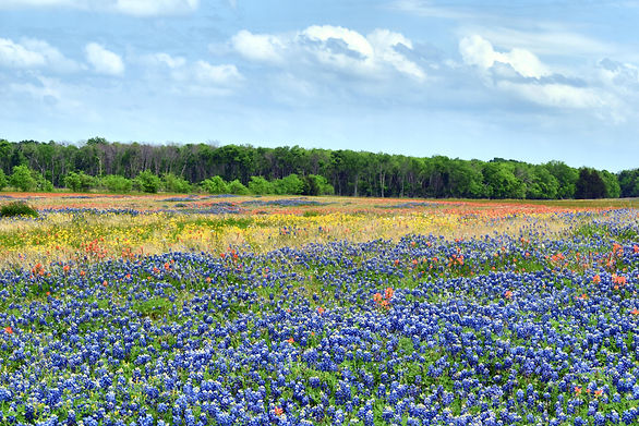 This is a photo of Texas bluebonnets by the Texas Tripwriter, Texas travel writer and photographer