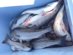 MD Rockfishing, MD Fishing