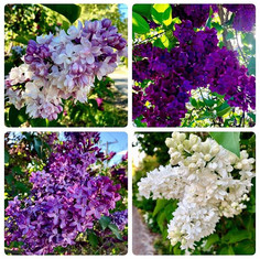 Obsessed with lilacs!