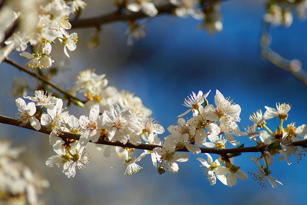 Cherry-Plum_Kirschpflaume.jpg