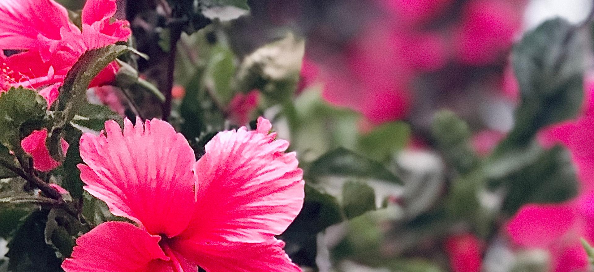 Fuchsia Hibiscus