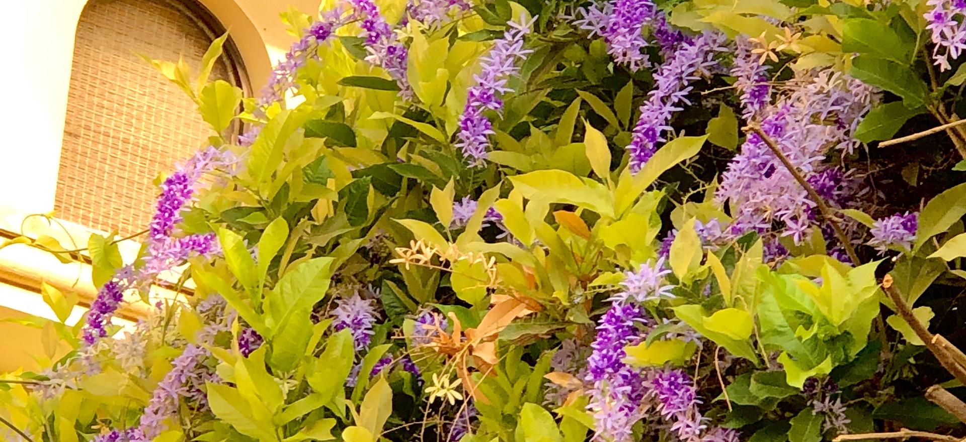 Tropical Lilacs