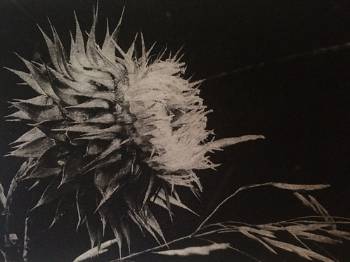 Thistle Solar Etching; series of 6