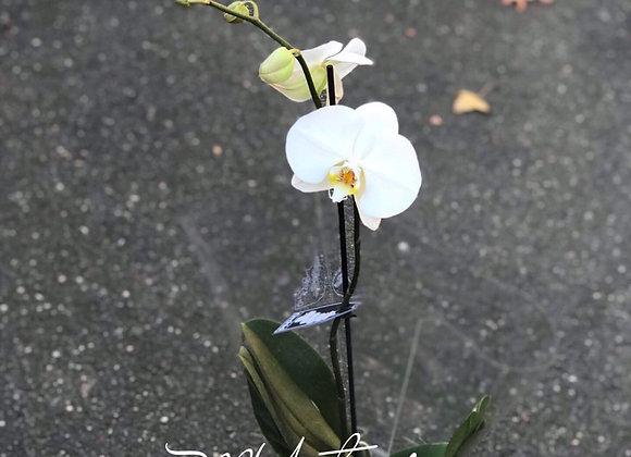 Premium Orchid Pot