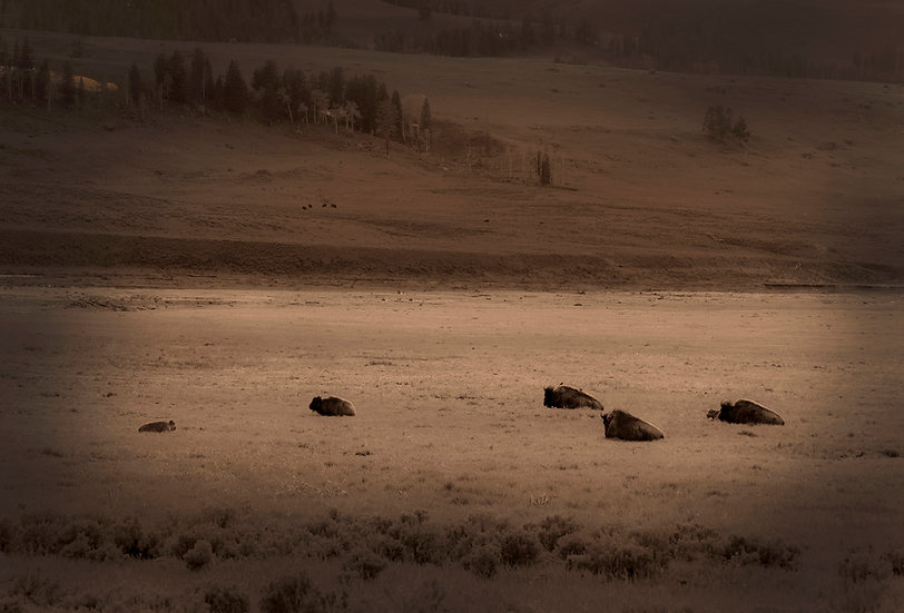 Bison and Birds - Yellowstone