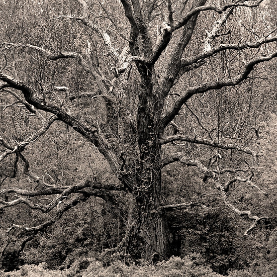 10-ANCIENT TREE