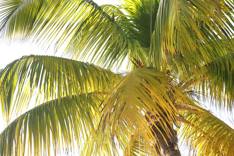 29 - Palm - Key West