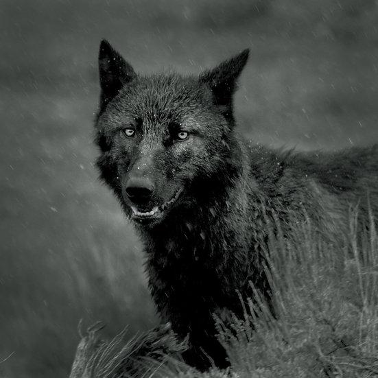 5- WOLF PORTRAIT