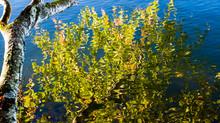 Blue Lichen Grows on Birch Tree