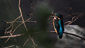 Pescărușul albastru - bijuterie a bălților de la Jimbolia