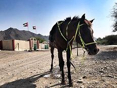 Arabian Horses at Hatta Horses, Wadi Hub