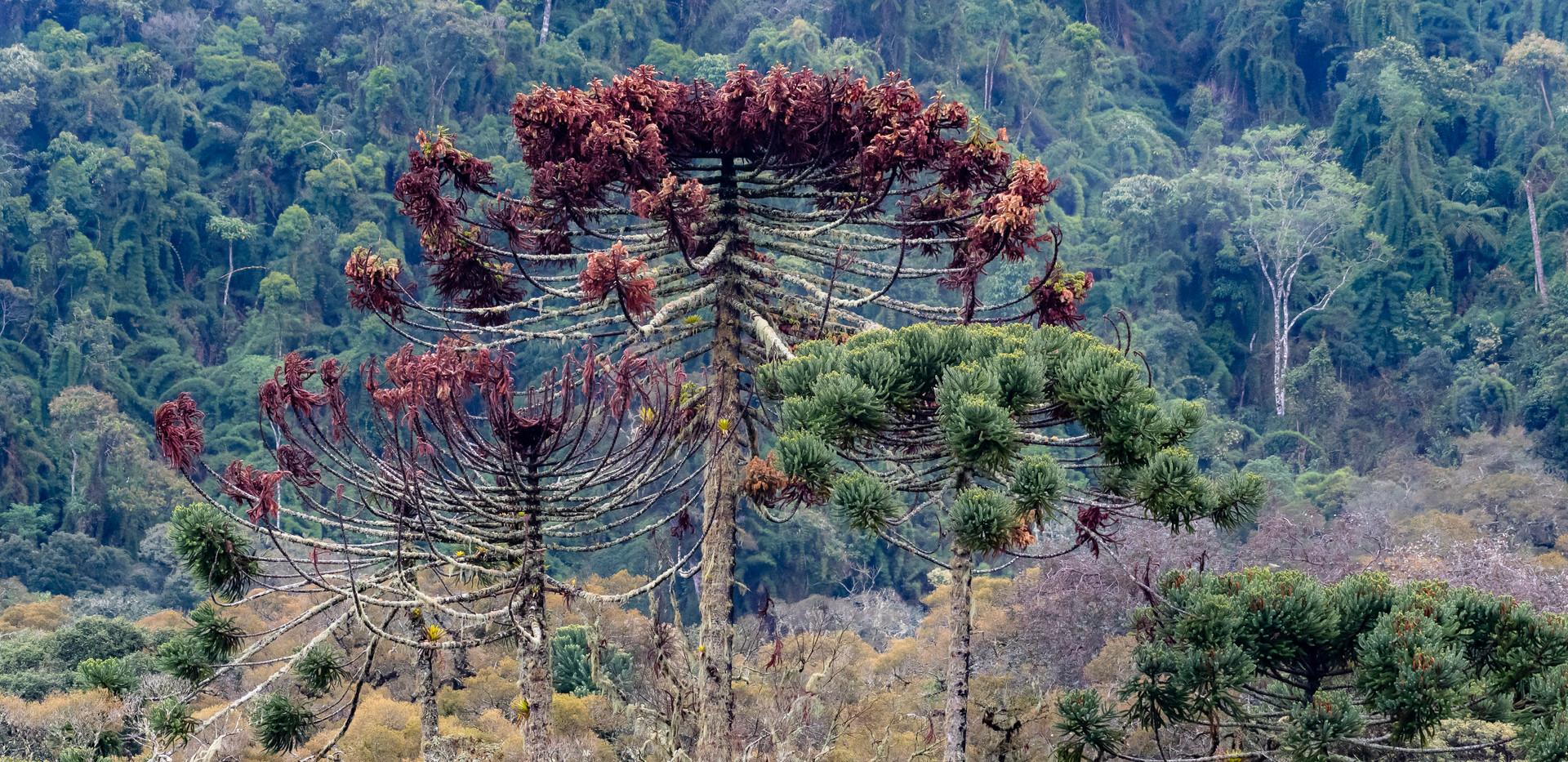 Atlantic Rainforest (@Birds Atlantic).jp