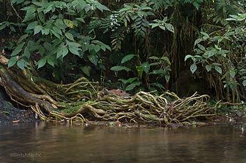 Atlantic Rainforest (@Birds Atlantic)7-2