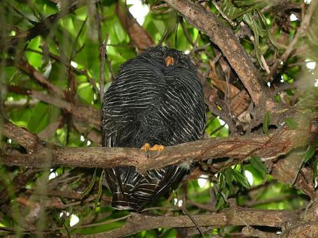 Diário de Campo #022 - Observação da Coruja-preta