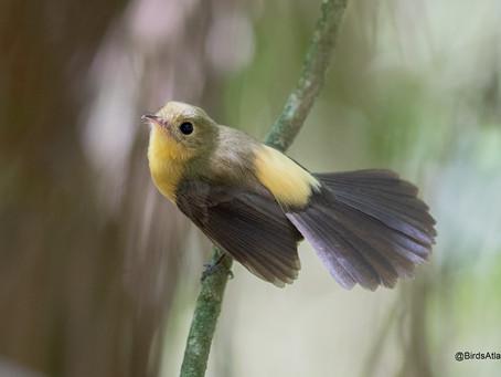 20/10/19 - Excelente Período para fotografar o Assanhadinho-de-cauda-preta (Myiobius atricaudus)