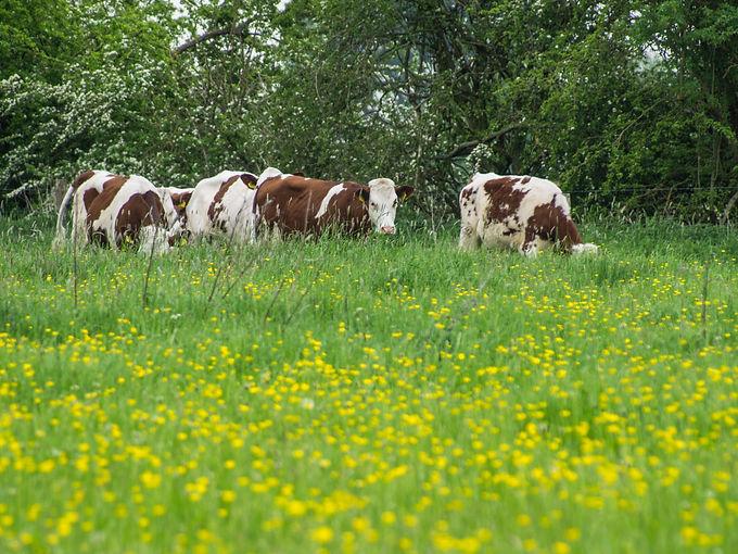 Biologisch melkveebedrijf de Werd van de