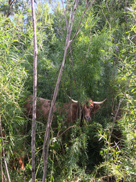 Forest cow!