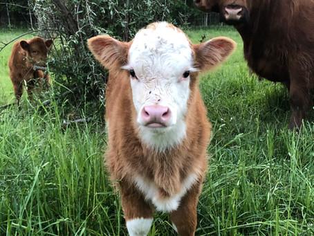 New Bull Calf for Sale, $850