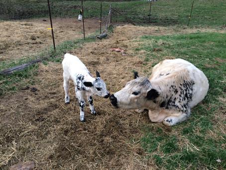 Spring 2018 Calves