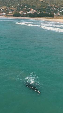 Mamães Baleias Francas e seus filhotes na Praia da Gamboa, em Garopaba - SC. 🐳💙🐳