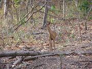 Deer spotted at Palo Verde National Park