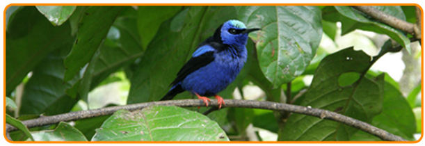 Beautiful blue bird in the South of Costa Rica