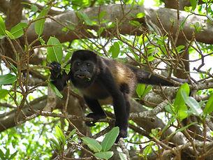 Howler Monkey eating leaves in Costa Rica