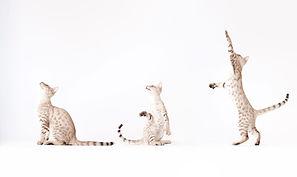 Três Gatos que jogam