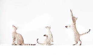 Drei Katzen spielen