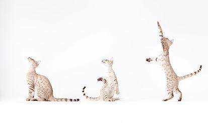 Three cats at play.
