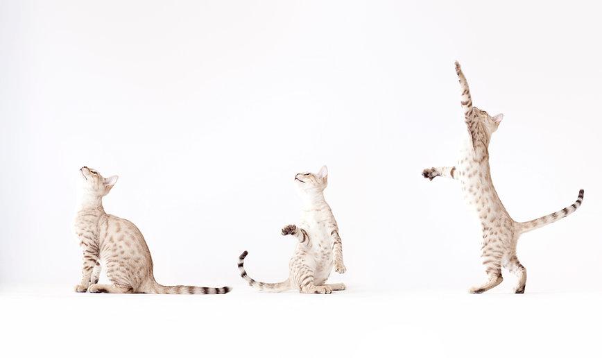 Tre katter som leker