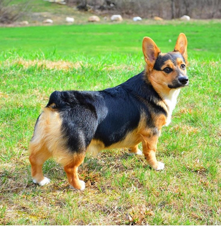 Poozik the Pembroke Welsh Corgi