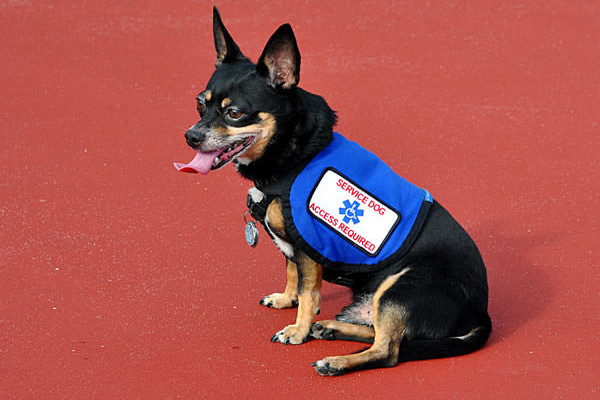 Small breeds can be service dogs too!