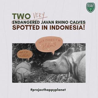 TWO VERY ENDANGERED JAVAN RHINO CALVES SPOTTED IN INDONESIA!