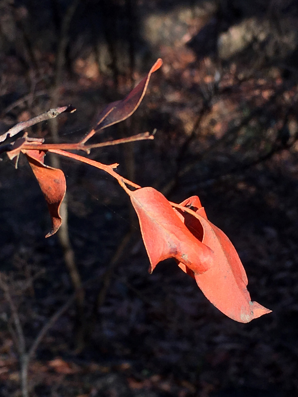 tania rollond_red leaves_2019.jpg