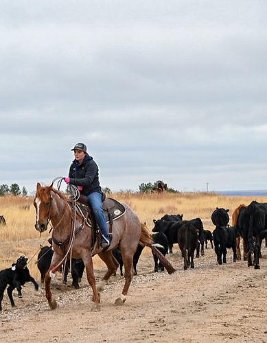 Dragging a calf back
