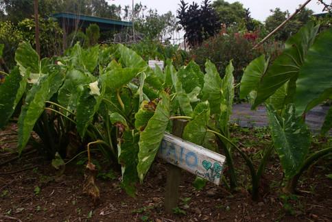 """Plantation de taro dans la """"School Garden"""" de Waimea. Ici, les enfants d'un collège apprennent à jardiner et participent à des ateliers de cuisine. Ils sont sensibilisés à l'alimentation biologique et locale, la culture de la terre et apprennent en faisant, en petits groupes, en plein air !  Une façon de disséminer les graines de la résilience !"""