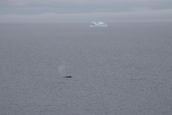 Les icebergs venus de l'océan Arctique dérivent le long des côtes terre-neuviènnes, et côtoient les baleines.