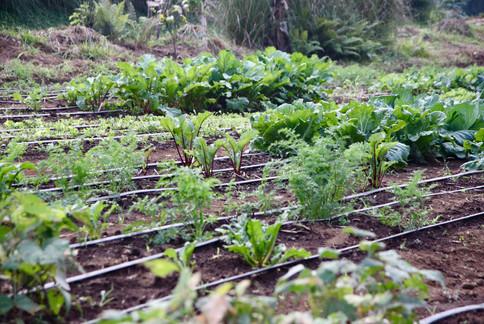 Plantations dans la ferme pédagogique gérée par Dave du Kohala Center. Elle accueille des groupes scolaires et c'est ici que Dave et ses collègues forment les futurs fermiers aux techniques d'agro-écologie.